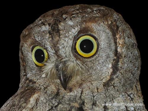 owl-s-head